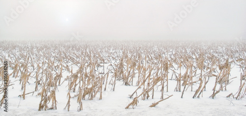 Valokuva  Hoar frost coats the dried stalks of corn in a vast snow-covered field of corn beneath a white cloudy sky and weak sun