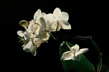 White Orchid On Black Backround