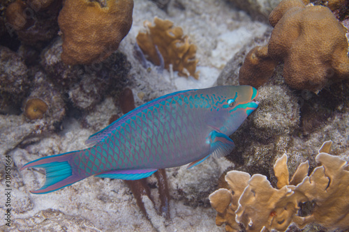 Queen Parrotfish Wallpaper Mural