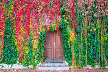 Beautiful Autumn Colored Ivy P...