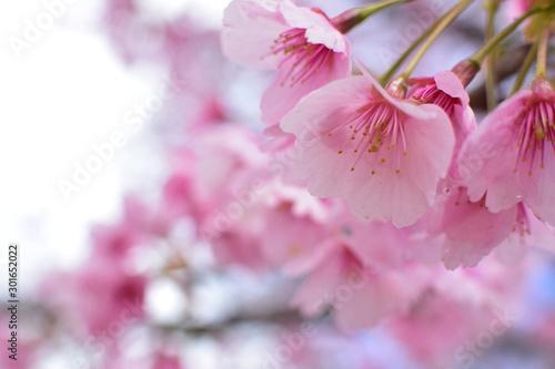 Cherry blossom, spring has come