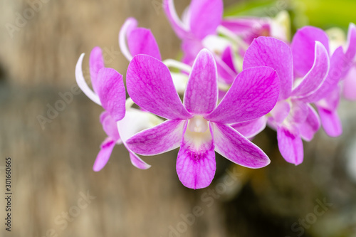 canvas print motiv - redkphotohobby : Pink Cattleya Orchids Flower in the Garden.