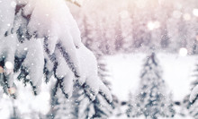 Frosty Winter Landscape In Snowy Forest. Christmas Background With Fir Trees And Blurred Background Of Winter. Happy New Year Card
