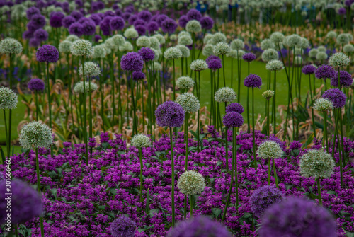 Spherical purple and white allium flowers of Allium Gladiator (alliaceae), Onion Wallpaper Mural