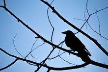 Bird Silhouette In Tree Branches