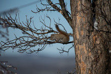 Red Squirrel On An Icicled Covered Tree Branch Landscape