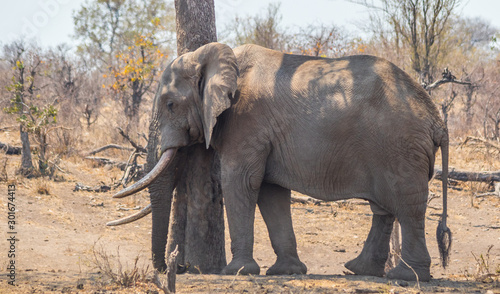 Leaning against a dry tree an African elephant takes a rest in the heat of the d Canvas Print