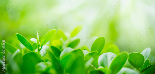 Fototapeta Green leaf on blurred greenery background. Beautiful leaf texture in sunlight. Natural background. close-up of macro with free space for text. obraz na płótnie