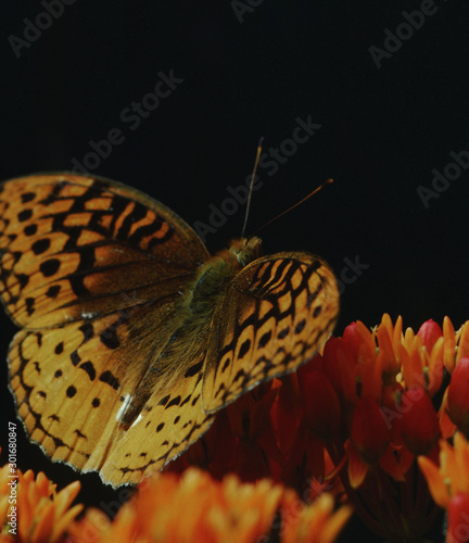 Gulf Fritillary Butterfly (Agraulis Vanillae) on Butterfly Weed