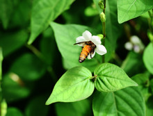 Giant Honey Bee Seeking Nectar Nectar On White Chinese Violet Or Coromandel Or Creeping Foxglove ( Asystasia Gangetica ) Blossom In Field With Natural Green Background, Thailand