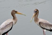 Pair Of Juvenile Painted Stork...