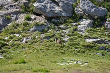 Marmotte Dans Les Alpes
