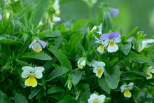 Blooming Heartsease, Viola Tricolor Plants With Dew Photographed Early Morning