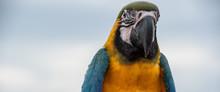 Head Of Macaw Bird Closeup