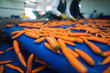 Leinwanddruck Bild - Fresh vegetables on conveyor belt being transported in food processing plant. Industrial workers selecting carrots for packing.