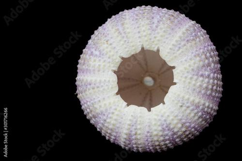 Fototapety, obrazy: Sea urchin shell
