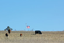 Four Cows And A Flag On A Hill...