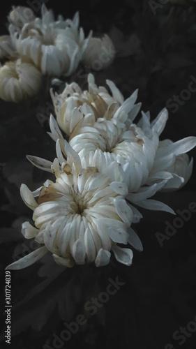 Fototapety, obrazy: white flower