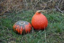 Two Pumpkins In The Autumn Garden