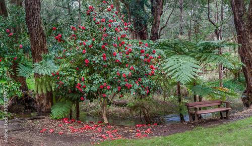 Foto Camelia Tree