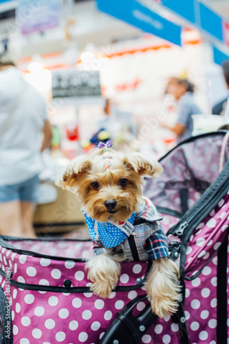 Fototapety, obrazy: Asian dog owner and the dog in pets expo