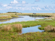 Canal And Cows In Salt Marsh N...