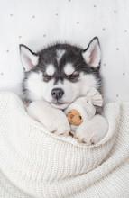 Siberian Husky Puppy Sleeps On...