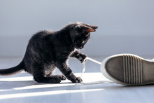 Beautiful Little Black Kitten Playing With The Laces Of Sneakers On The Floor At Home.
