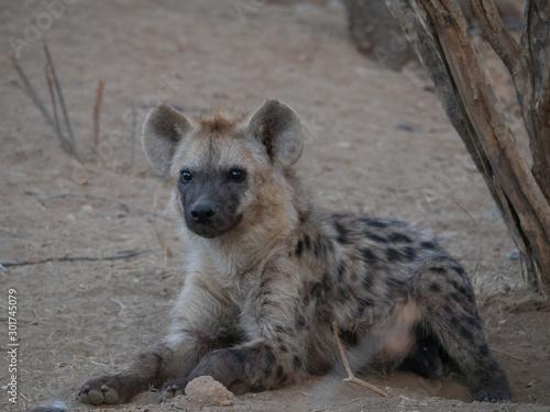 Deurstickers Hyena Hyene