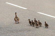 A Female Duck With Her Chicks ...