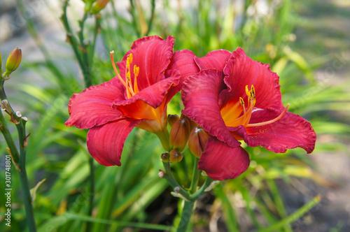 Photo hemerocallis daylily ruby stella red  flowers in garden