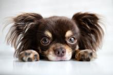 Chihuahua Dog Portrait Lying Down