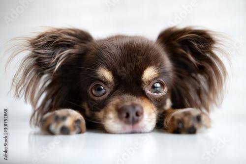 Photo chihuahua dog portrait lying down