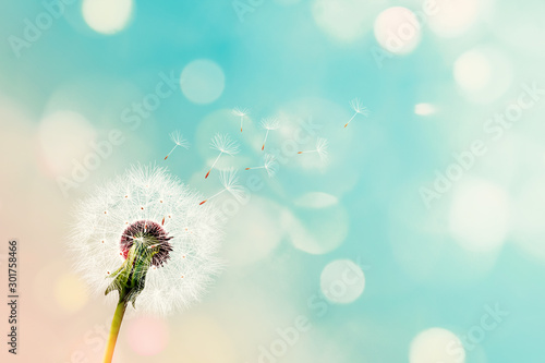 Dandelion seeds being carried by the wind with a blurred pink blue background and bokeh lights. dandelion seeds with abstract background. - 301758466