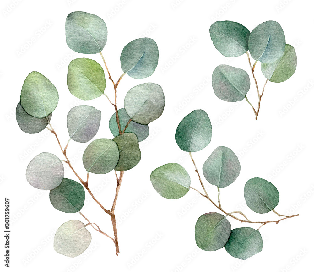 Fototapety, obrazy: Eucalyptus branches set hand drawn in watercolor isolated on a white background. Floral elements for creating invitations, greeting cards, arrangements. Botanical illustration. Watercolor painting