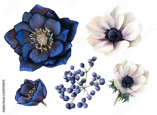 Set of picturesque dark blue flowers (hellebores), white anemones and viburnum berries bunch hand drawn in watercolor isolated on a white background Canvas Print