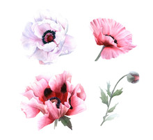 A Picturesque Set Of Full-blown Pink And White Poppy Flowers And Poppy In Bud Hand Drawn In Watercolor Isolated On A White Background.Botanical Illustration. Floral Watercolor Element For Arrangements