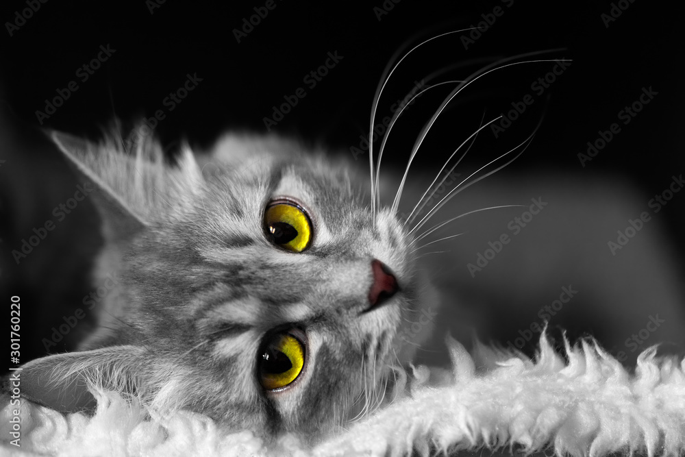 Fototapeta White and black image of cat with yellow and green eyes lying on soft white fur on black background, horizontal closeup view with head