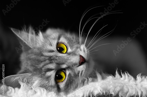Photographie White and black image of cat with yellow and green eyes lying on soft white fur