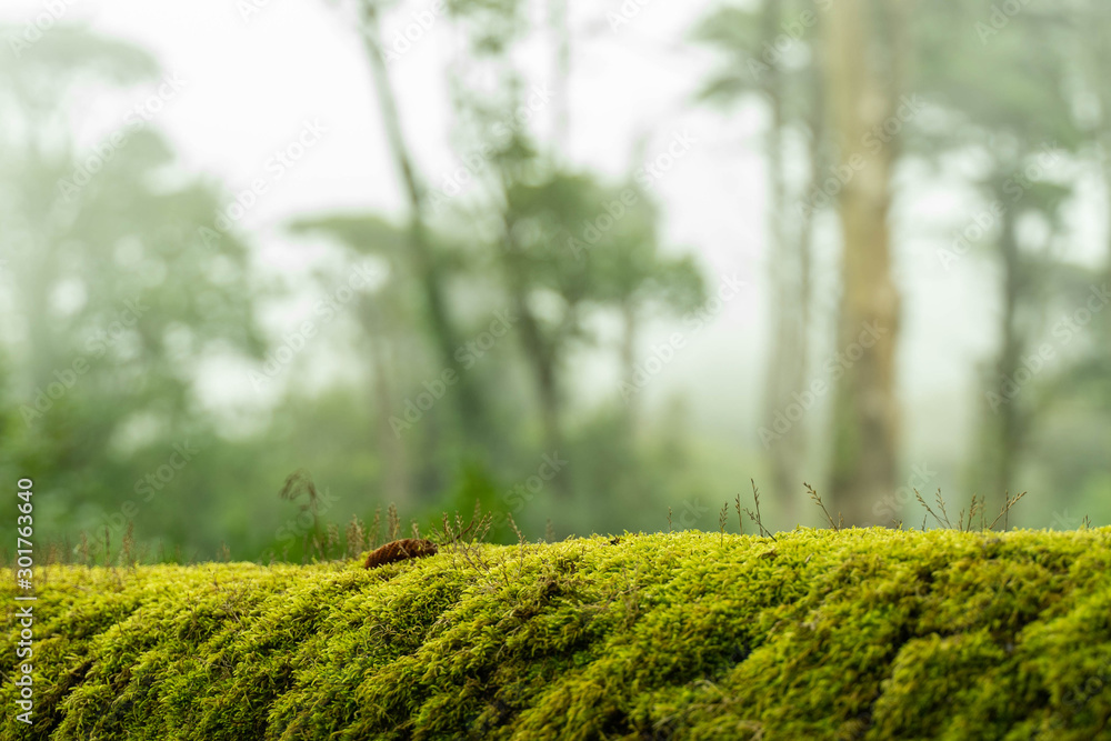 Fototapety, obrazy: green moss on bark tree in forest. trees on background. foggy weather. background of moss for wallpaper. macro close view.