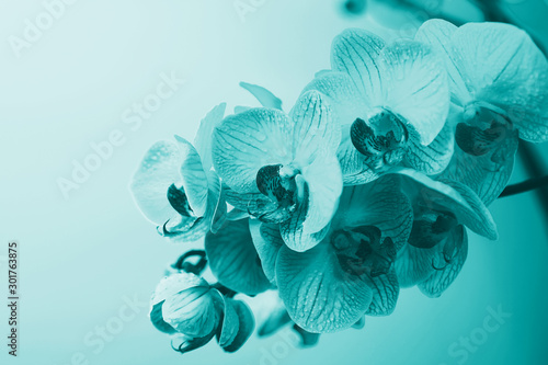 Fotobehang Orchidee delicate pink Orchid with dew drops close-up on light blue background