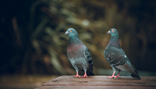 Pigeons Love. Two Pigeons In L...
