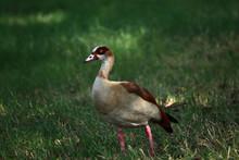 An Egyptian Goose (Alopochen A...