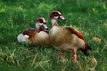 A Couple Of Egyptian Geese (Alopochen Aegyptiaca) On The Grass In A Park.