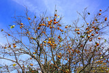 Orange persimmon kaki fruits growing on a tree in the fall
