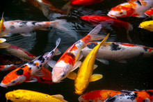 Fish CARP Fancy / Koi In Pond, Japanese National Animal