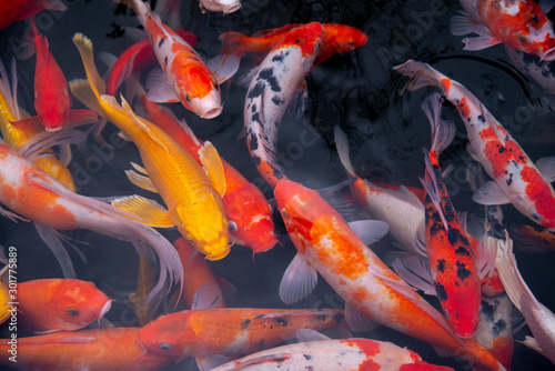 Canvas-taulu fish CARP fancy / koi in pond, japanese National animal