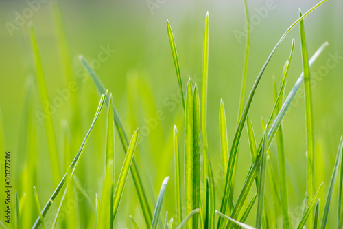 Vivid lush green grass in a sunny day's spring morning. Springtime background. #301777286