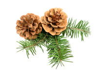 Pine Cones With Evergreen Branch Isolated