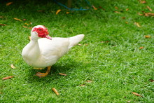 The Muscovy Duck (Cairina Mosc...
